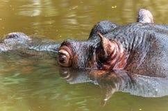 Hippopotame dans un étang Photo libre de droits