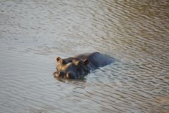 Hippopotame dans un étang en parc national de Pilanesberg Photographie stock libre de droits