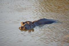 Hippopotame dans un étang en parc national de Pilanesberg Image libre de droits