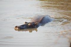 Hippopotame dans un étang en parc national de Pilanesberg Photographie stock