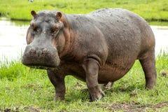 Hippopotame de alimentation photographie stock libre de droits