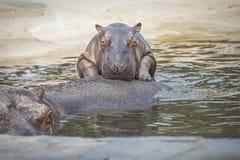 Hippopotame de bébé Photographie stock libre de droits