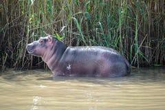 Hippopotame de bébé au parc de marécage d'Isimangaliso, Afrique du Sud photographie stock libre de droits