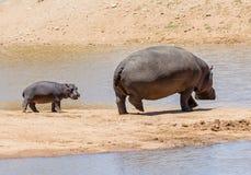 Hippopotame de bébé avec la mère images stock