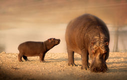 Hippopotame de bébé avec la mère photographie stock
