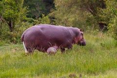Hippopotame de bébé juste soutenu Image libre de droits