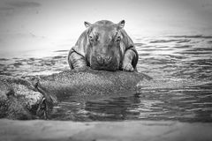 Hippopotame de bébé (noir et blanc) Photos stock
