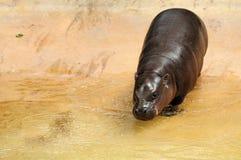 Hippopotame de chéri Image libre de droits