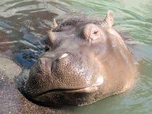 Hippopotame de Hippopotamus Images libres de droits