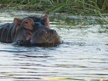Hippopotame de la rivière Zambesi Photos libres de droits