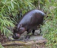 Hippopotame 13 de Pigmy Photo libre de droits