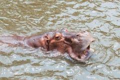 Hippopotame de portrait, bouche ouverte d'hippopotame Photos libres de droits