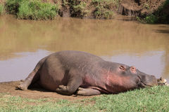 Hippopotame de repos photos stock