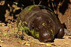 Hippopotame de sommeil Photographie stock libre de droits