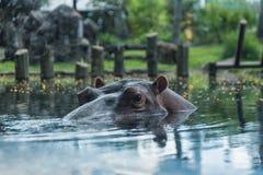 Hippopotame en jardins Tampa Bay de Busch florida Photo stock