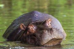 Hippopotame en parc national de Kruger, Afrique du Sud Images libres de droits