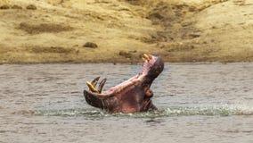 Hippopotame en parc national de Kruger, Afrique du Sud image libre de droits