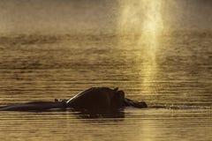 Hippopotame en parc national de Kruger, Afrique du Sud images stock