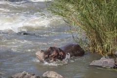 Hippopotame en parc national de Kruger, Afrique du Sud photo libre de droits