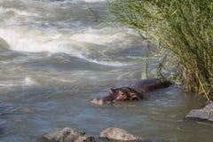 Hippopotame en parc national de Kruger, Afrique du Sud photographie stock