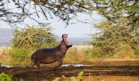 Hippopotame en stationnement national de Serengeti Photo libre de droits