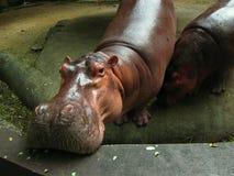 Hippopotame en Thaïlande photographie stock libre de droits