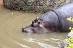 Hippopotame entrant dans l'eau - zoo de Sao Paulo Image stock