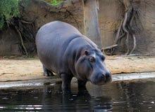 Hippopotame entrant vers le bas dans une eau Photo libre de droits
