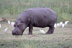 Hippopotame et hérons Photo stock