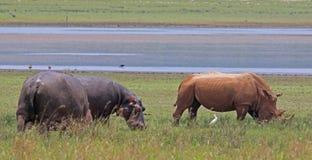 Hippopotame et rhinocéros Photos libres de droits