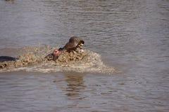 Hippopotame fâché dans l'eau Photographie stock libre de droits