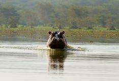 Hippopotame fâché dans l'eau photo libre de droits