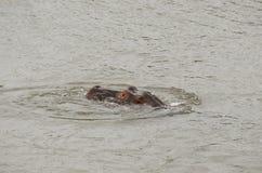 Hippopotame faisant une pointe hors de l'eau images libres de droits