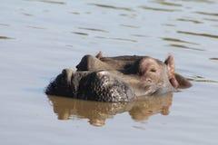 Hippopotame glissant dans l'eau Image stock