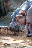 Hippopotame, hippopotame dans le zoo de Trivandrum, Kerala, Inde Photographie stock libre de droits