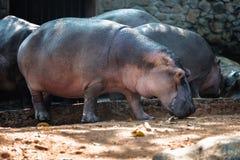 Hippopotame, hippopotame dans le zoo de Trivandrum, Kerala, Inde Photos stock
