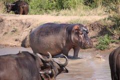 Hippopotame hors de l'eau Photos stock