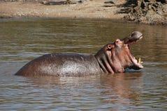 Hippopotame hurlant Images libres de droits