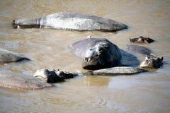 Hippopotame (Kenya) Images stock