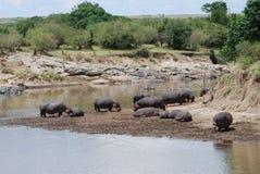 Hippopotame lézardant Photographie stock libre de droits
