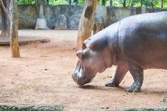 Hippopotame marchant à la rive - Hippotamus Photos libres de droits