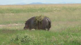 Hippopotame marchant sur la terre sèche banque de vidéos