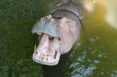 Hippopotame montrant la mâchoire énorme photographie stock libre de droits
