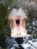 Hippopotame montrant la mâchoire et les dents énormes photos stock