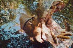 Hippopotame - natation d'hippopotame dans une eau reflétée photos stock