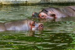 Hippopotame ordinaire dans l'eau de la piscine de la voli?re de zoo L'hippopotame herbivore africain de mammif?res aquatiques d?p photo stock