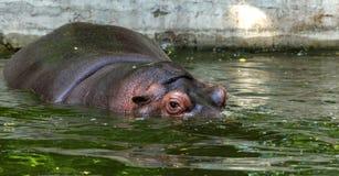 Hippopotame ordinaire dans l'eau de la piscine de la voli?re de zoo L'hippopotame herbivore africain de mammif?res aquatiques d?p image libre de droits