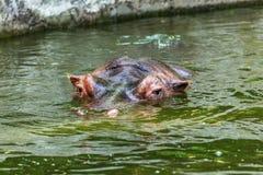 Hippopotame ordinaire dans l'eau de la piscine de la voli?re de zoo L'hippopotame herbivore africain de mammif?res aquatiques d?p photographie stock libre de droits