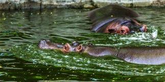 Hippopotame ordinaire dans l'eau de la piscine de la voli?re de zoo L'hippopotame herbivore africain de mammif?res aquatiques d?p images libres de droits