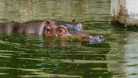 Hippopotame ordinaire dans l'eau de la piscine de la voli?re de zoo L'hippopotame herbivore africain de mammif?res aquatiques d?p images stock